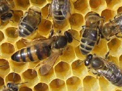 yaban arısı resimleri