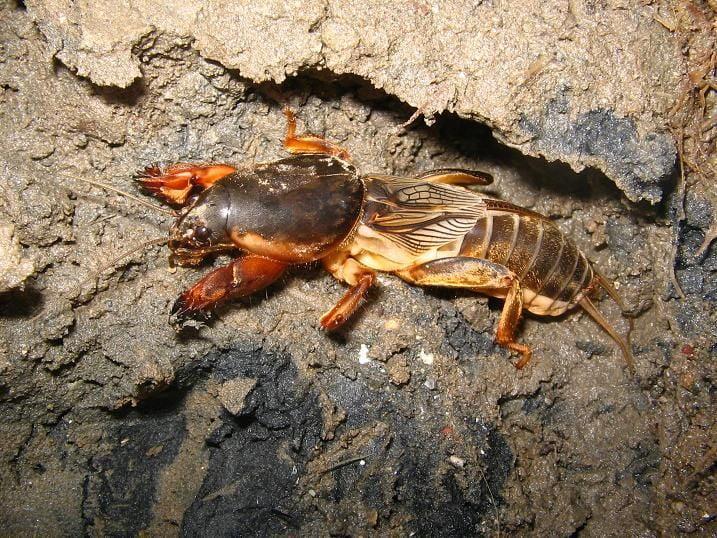 dana burnu böceği resimleri