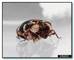 deri böceği resimleri