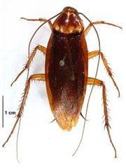 kalorifer böceği resimleri