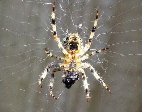 örümcek resimleri