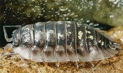 tesbih böceği resimleri